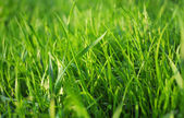 Close up on fresh green grass texture background with sun lights — Stock Photo