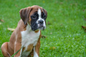 Beautiful boxer puppy sitting in the grass — Stock Photo