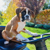 Lovely Boxer Puppy 3 months old driving the tractor — Stock Photo