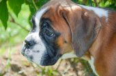 Beautiful Boxer puppy 2 months old alert — Stock Photo