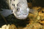 Schwimmende Gefleckter Fisch closeup — Stockfoto