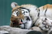 Amur tiger resting on a tree closeup — Stock Photo