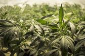 Marijuana Leaves on Top of Plants — Stock Photo