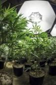 Leafy Marijuana Plants Under Grow Lights — Stock Photo