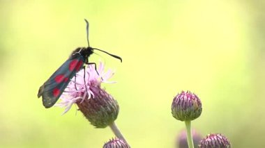 Zygaena trifolii, Rhaponticum carthamoides. — Stock Video