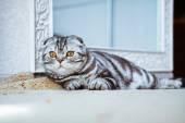 Grey cat lying on the floor. cat playing, Scottish Fold — ストック写真