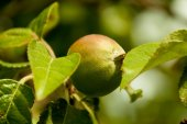 Green apples on a branch ready to be harvested, outdoors — Stock Photo