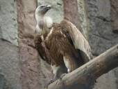 European griffon vulture (Gyps fulvus) — Stock Photo