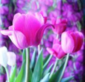 Tulipani rosa di primavera — Foto Stock