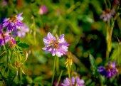 Trifolium pratense — Foto Stock