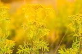 Tansy Tanacetum vulgare — Stock Photo
