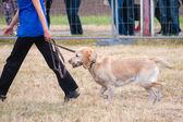 Собака нести молота во время обучения — Стоковое фото