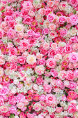 Soft Color roses — Stock Photo