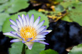 Lotus with pond background — Stock Photo