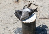 A pigeon — Stock Photo