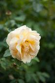 Beautiful rose in a garden — Stock Photo