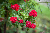 Beautiful roses in a garden — Stock Photo