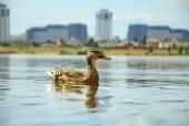 Yalnız ördek — Stok fotoğraf