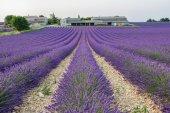 Lavender field, landmark of Provence,velensole — Stock Photo