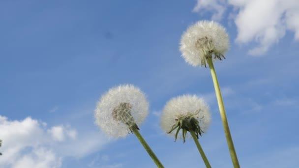Blanco flores de diente de León diente de León tres flores en un día soleado de tallos verdes revoloteando flores hojas verdes brisa cielo azul nubes blancas al aire libre — Vídeo de stock