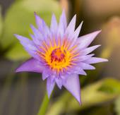 Purple water-lily blossom. — Stock Photo