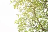 Tree on white background. flare light — Stock Photo