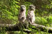 Owlets — Stock Photo
