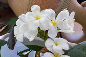 Flower plumeria with vintage and boutique background — Stock Photo