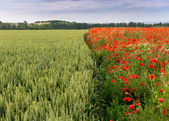 Red and white poppies against clear sky — Stock Photo