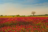 Red clover fields against blue sky — Stock Photo