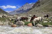 Horses drinking water near river in the field, Northern India — Stock Photo