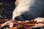 Macho sello furry Nueva Zelanda sobre algas — Foto de Stock