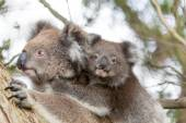 Koala Bear head on mom's back — Stock Photo