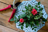 Roses on blue knitted napkin and garden shears — Stock Photo