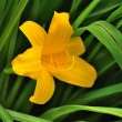 Single yellow lilly on green background — Stock Photo #78543546