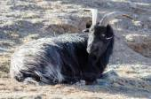 Old grey-haired Tibetan goat is sitting on a mountain slope — Stock Photo