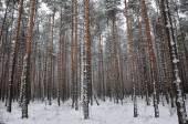 Mönster av vintern pinjeskog — Stockfoto