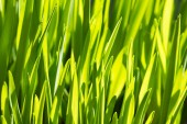 Rich spring green grass, suitable as a background image — Stock Photo