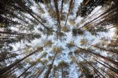 Spherical view of the pine tree forest tops — Stock Photo
