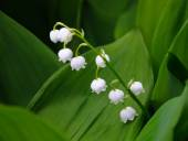 Lilly of the valley flowers, close view — Stock Photo