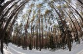 Spherical views of the pine winter forest — Stock Photo