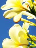 Plumeria blossom kauai hawaii — Stock Photo