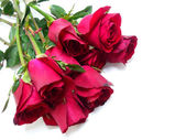 Beautiful Red roses on white background — Stock Photo