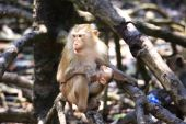Monkey in the mangrove forest in cangio — Stock Photo