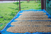 Drying coffee beans — Stock Photo