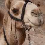 Camel at Petra — Stock Photo #79177094