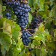 Lush, ripe red wine grapes on the vine with green leaves — Stock Photo #84655844