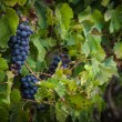 Lush, ripe red wine grapes on the vine with green leaves — Stock Photo #84655848