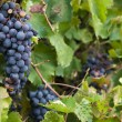 Lush, ripe red wine grapes on the vine with green leaves — Stock Photo #84932000