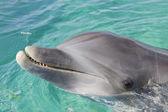 Dolphin, Honduras — Stock Photo